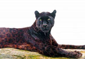 Обои леопард, пантера, хищник, морда, взгляд