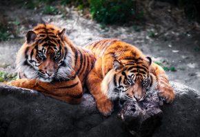 тигры, природа, зоопарк, кошки, хищники