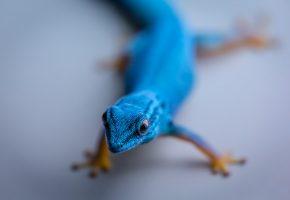 Обои ящерица, природа, синяя, кожа, лапки