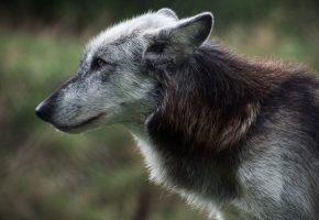 Обои волк, хищник, взгляд, мех, уши