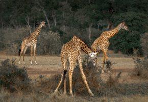 Обои жираф, пятна, шея, природа, саванна, африка