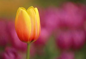 flower, природа, цветок, тюльпаны, луг, лепестки