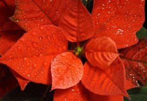 Обои Пуансетия, красная, рождественская звезда, капли, цветок
