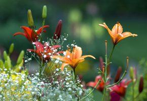 Обои цветы, лилии, бутоны, букеты, поле