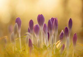 Обои весна, цветы, крокусы, свет, блики