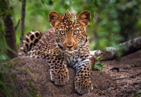 маленький, леопард, деревья, листва, лапы