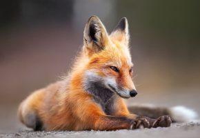 молодая, лиса, рыжая, лапы, уши, мордочка