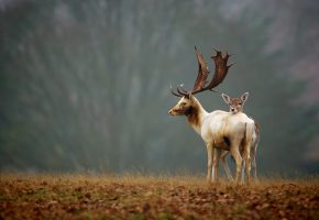 Обои олени, природа, осень, рога