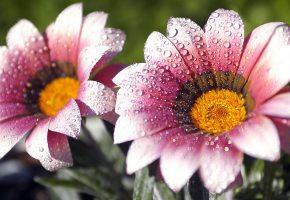 Лепестки, розовые, капли, вода, роса