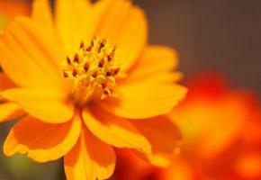 Цветок, лепестки, оранжевые, пестики, тычинки