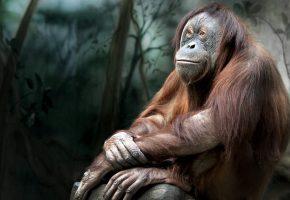 Обои pose, chimpanzee, monkey, обезьяна, шимпанзе