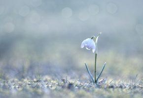 Обои подснежник, весна, цветок, макро, капли