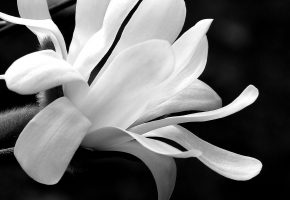 Magnolia, flower, black, white, лепестки, белые