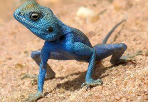 Ящерица, синяя, песок, лапки, хвост
