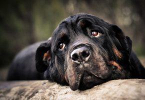 собака, черная, нос, морда, взгляд, глаза