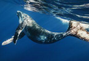 Обои Большой, голубой кит, хвост, плавники, океан