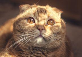 cat, скоттиш фолд, морда, портрет, рыжий, уши, усы