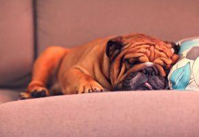 щенок, французский бульдог, бульдог, спит, лапы