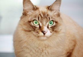 Обои кот, глаза, уши, взгляд, красиво