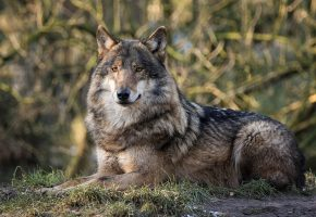 Обои волк, серый, хищник, взгляд, красавец