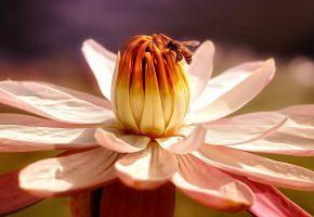 Обои цветок, пчела, макро, бутон