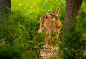 Обои оленёнок, малыш, лес, зелень