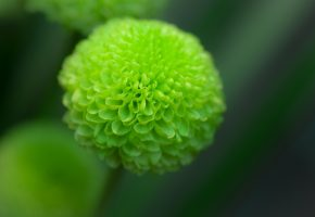 цветок, георгина, зеленая, фокус
