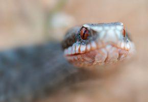 Обои змея, природа, чешуя, макро