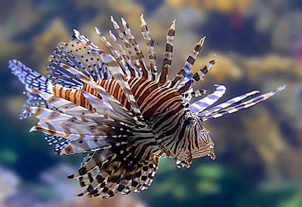 Обои картинки фото рыба, дракон, море, крылатка, плавники