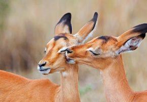 Обои олени, любовь, уши, морды