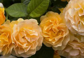 жёлтые, розы, лепестки, бутоны