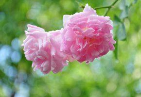 роза, ветка, цветение, капли
