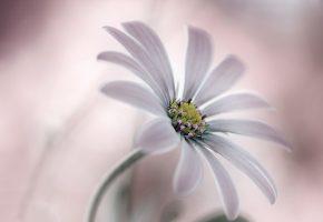 цветок, лепестки, стебель, природа, растение