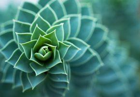 Обои растение, зеленое, елочкой, макро