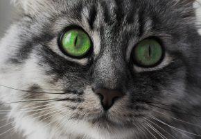 Обои кот, глаза, зелёные, взгляд, морда