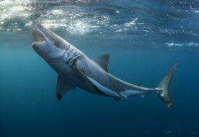 Обои Белая акула, акула, море, зубы