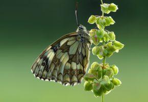 Обои Пестроглазка галатея, бабочка, макро, крылья