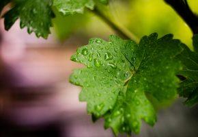 Обои зелень, макро, капли, листва