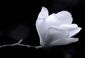 background, magnolia, black, white, цветок, магнолия