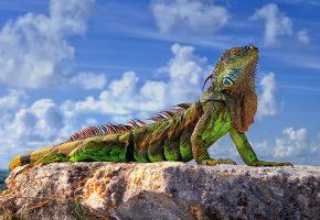 Обои игуана, зелёная, ящерица, камни, небо