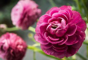 Пионы, лепестки, розовые, стебли, зеленые