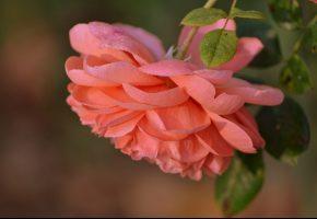 Обои роза, цветок, лепестки, макро