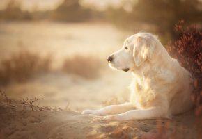 золотистый ретривер, голден ретривер, собака, песок