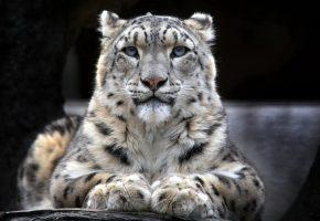 леопард, белый, лапы, взгляд, нос, пятна
