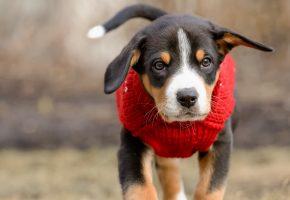 щенок, жилетка, бежит, хвост, морда, уши