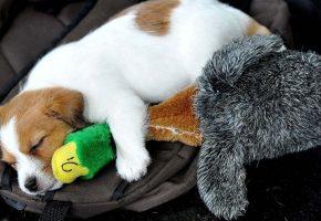 щенок, утка, сон, после, охоты