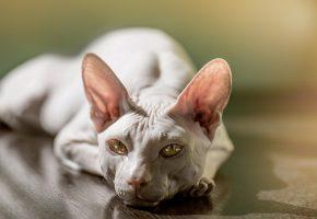 Обои кошка, кот, морда, сфинкс, отдыхает, глаза, уши