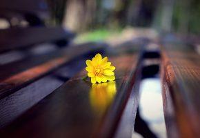 Цветок, желтый, скамья, макро, доски