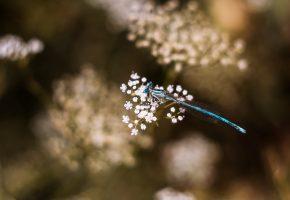стрекоза, цветы, крылья, макро