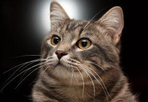 Обои Кот, кошка, морда, уши, усы, глаза